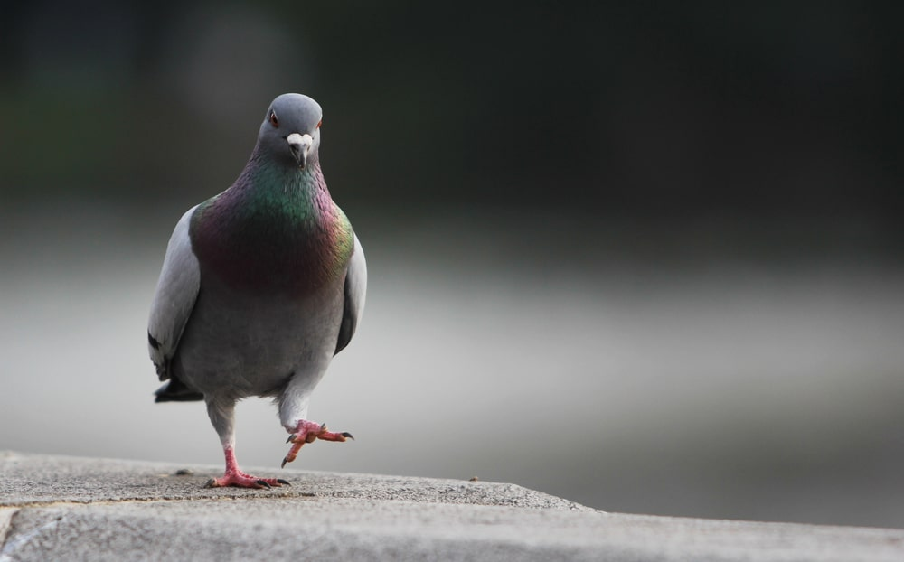 What Does A Grey Dove Symbolize Choice Image Meaning Of This Symbol
